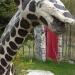 girafe_gros_plan_vr.3