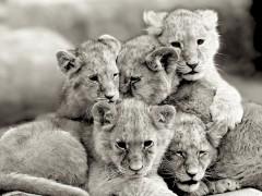 lionceaux sepia.jpg