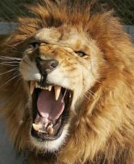 lion rugissant.jpg