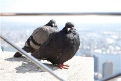 2 pigeons sur l'ESB.jpeg