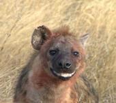sourire de hyene.jpg
