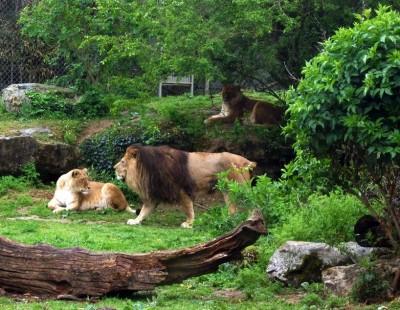 lion lionnes doué.jpg
